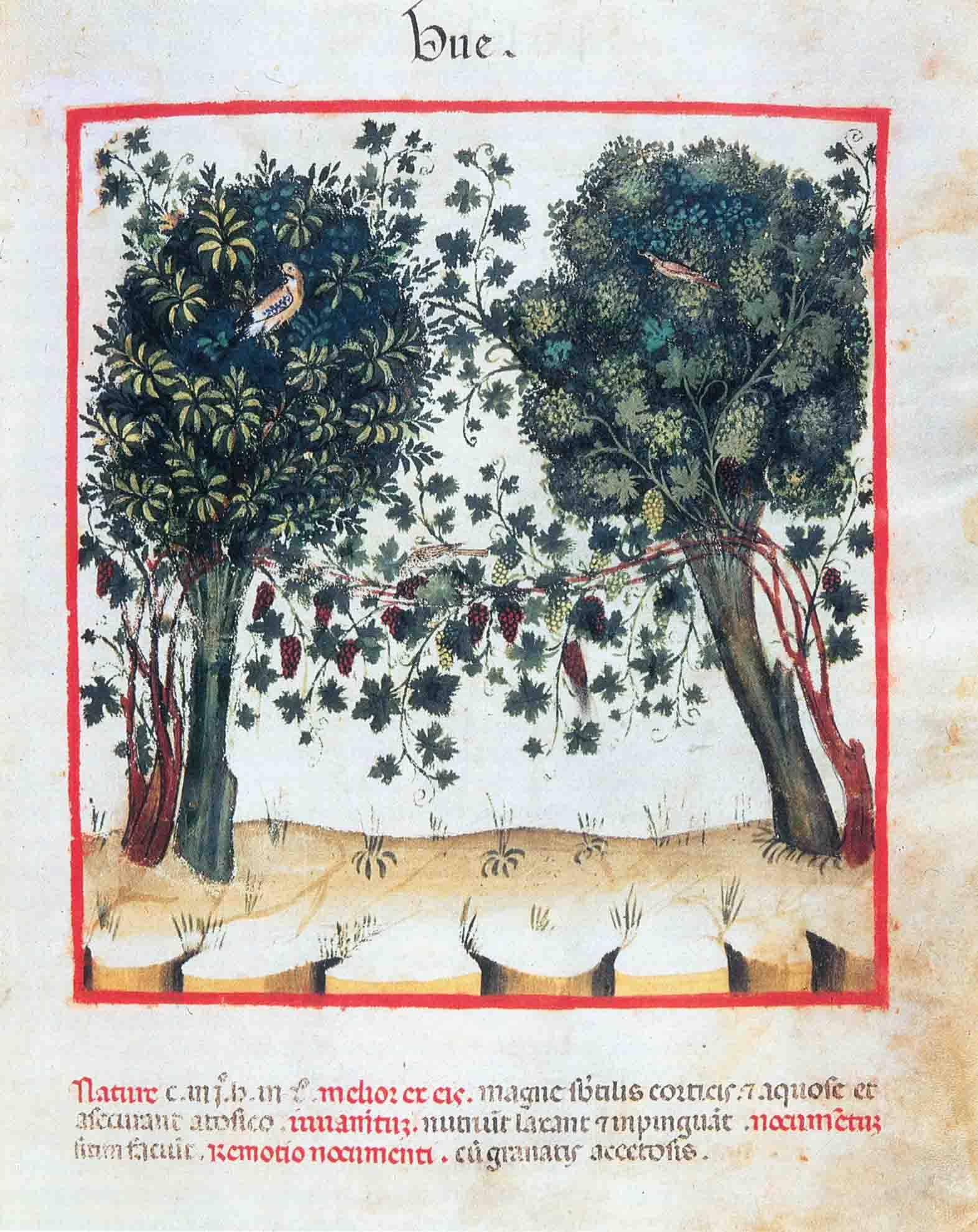 """05a. Vite """"maritata"""" agli alberi, tirando i tralci da un tronco all'altro, secondo il metodo della """"piantata padana"""" in uso già presso gli Etruschi. Miniatura tratta da UBUCHASYM DE BALDAH (XI sec.), Theatrum Sanitatis, sec. XIV, ms 4182 (Roma, Biblioteca Casanatense)."""