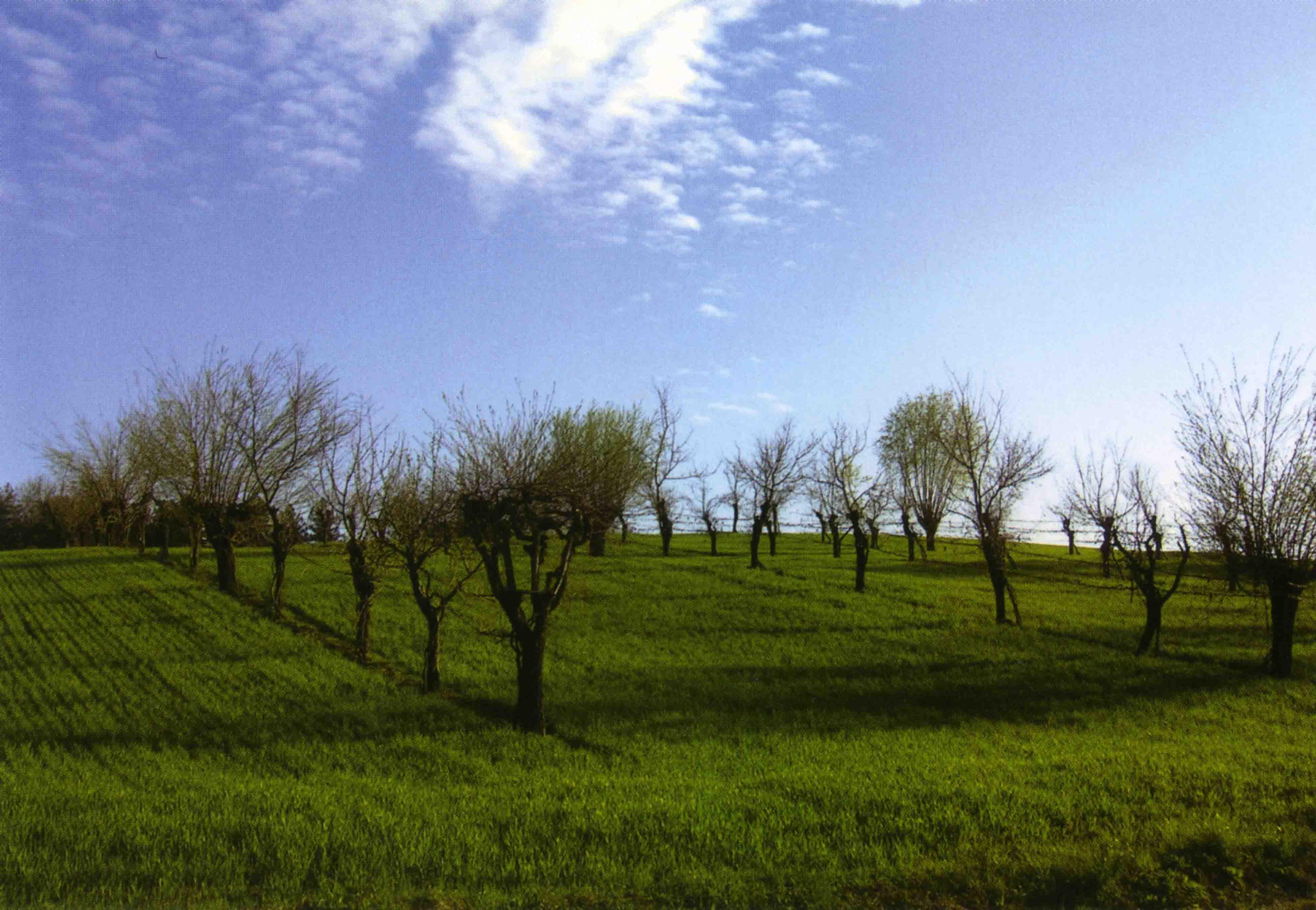 05b. Filari di viti allevati tra alberi da frutto a Bazzano, in Val d'Enza.