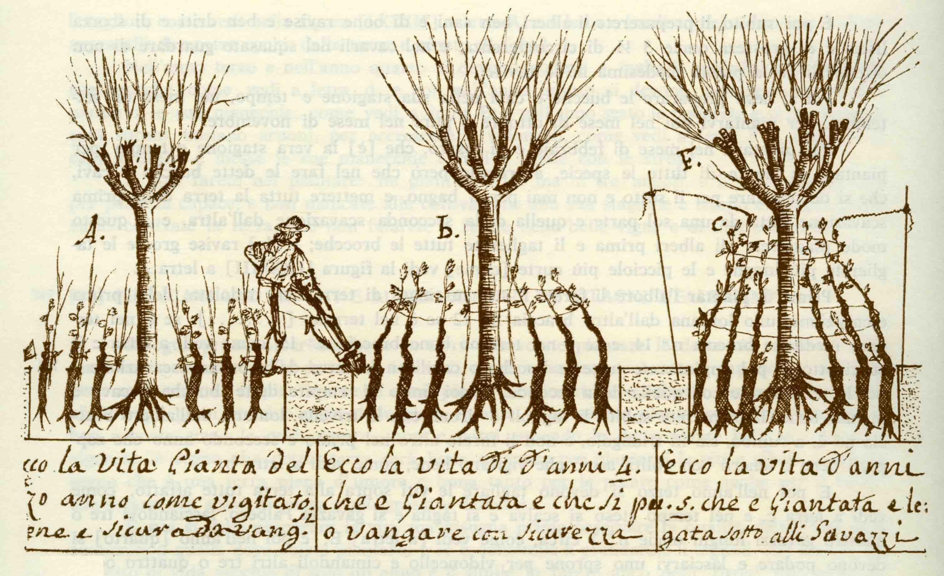 """11c. Una pagina dal """"Trattato delle viti"""" nel manoscritto Insegnamenti di agricoltura parmigiana, XVIII secolo (Parma, Archivio di Stato)."""